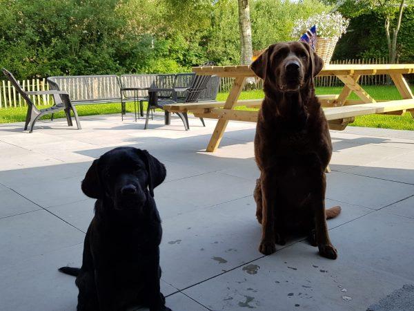 Labrador_Hond